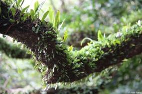 Farne wachsen auf Bäumen